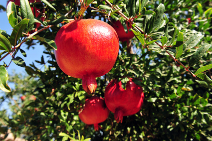 a pomegranates tree